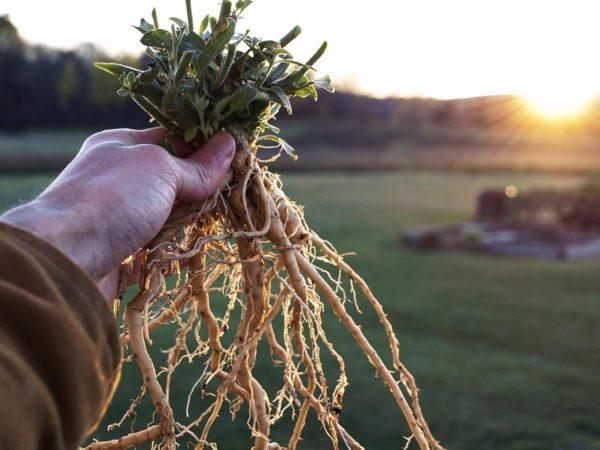Ashwagandha: a Planta que Virou Febre Entre os Americanos